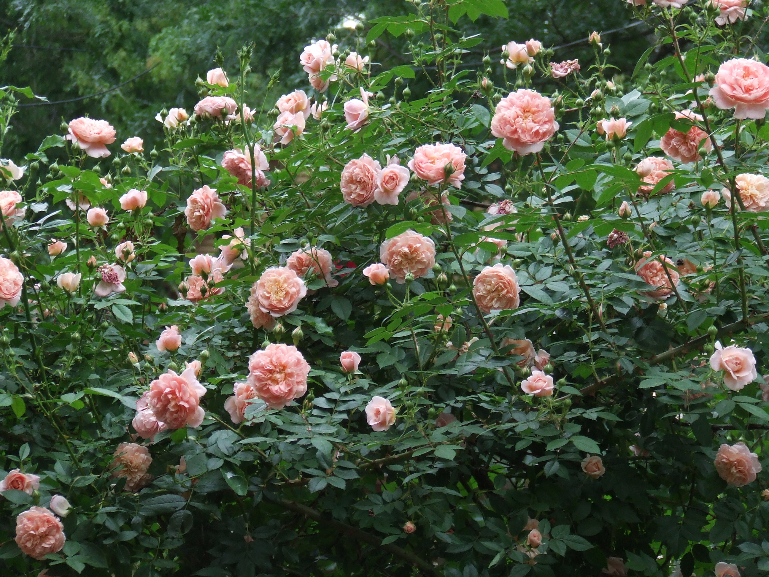 Saturday Update: Garden Roses. Lots ...