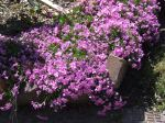 the bright creeping phlox is a standout