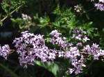 the cut leaf lilac is blooming