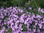 creeping phlox in bloom