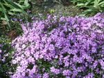 creeping phlox in the border
