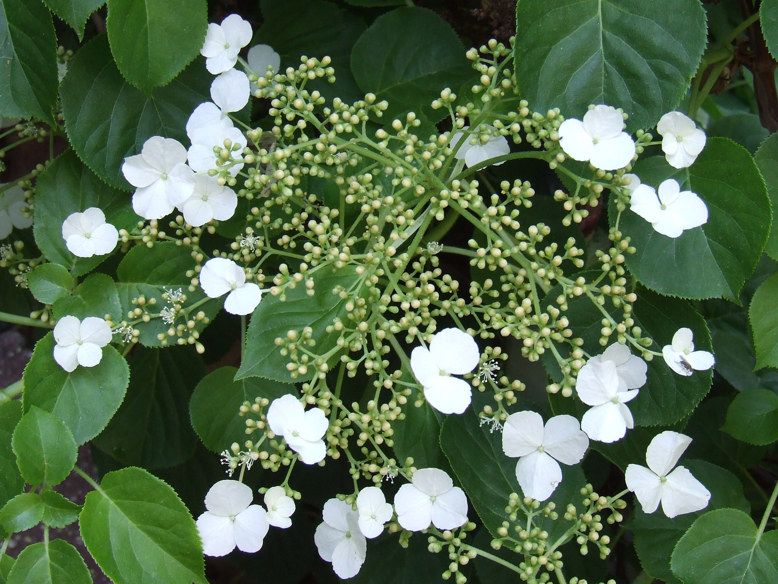 hydrangea anomala ssp petiolaris tim latimer quilts etc. Black Bedroom Furniture Sets. Home Design Ideas