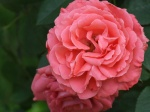 Beautiful Climbing America rose