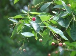 The service berry tree ( Amelanchier canadensis) gets fruit that attracts the birds...they have it almost all eaten