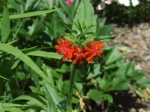 Maltese cross flower (Lychnis chalcedonica) just starting to flower