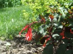 (Fuchsia triphylla) 'Gartenmeister  with Lady's Mantle in the background