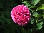 Rose (Charles deMills)