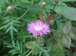 Centauria...perennial cornflower