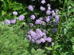 (Scabiosa columbaria) 'Butterfly Blue'  blooms all summer