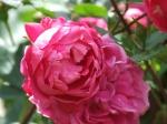 Alexander MacKenzie rose
