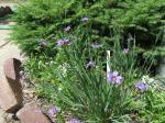 blue eyed grass (Sisyrinchium bellum) a wild flower related to iris