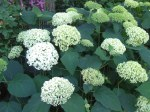 Annabelle Hydrangea (Hydrangea  arborescens) is very easy to grow