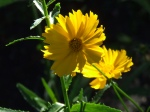 Coreopsis catching the sun just right