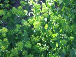 Bupleurum is a self seeding annual that makes a great cut flower