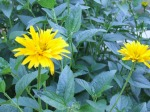 Heliopsis helianthoides (ox-eyed sunflower)
