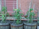 tomato garden starting to grow fast