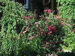 lexander Mackenzie rose