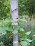 hyacinth beans climbing the post