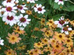 coreopsis in full bloom