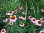 purple coneflower are dependable summer bloomers