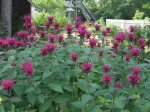 monarda attract bees and butterflies