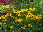 black eyed susan adds a splash of color