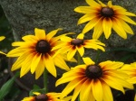 there are many varieties of black eyed susan