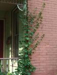 climbing hydrangea wants to take over