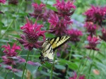 monarda and swallowtail butterfly