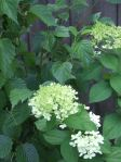 first year for the limelight hydrangea to bloom (planted late last fall)