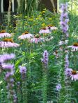 coneflower and liatris