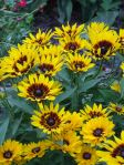 black eyed Susan are vibrant!