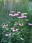 coneflowers are attracting a lot of butterflies (none today)