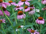 coneflowers are native plants