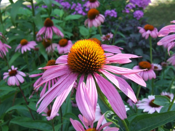 purple coneflower close up
