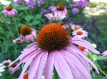 aren't the centers of the coneflowers beautiful?
