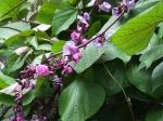 hyacinth beans ( Lablab purpureus)