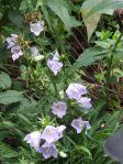 campanula blooming