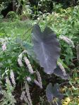 the anise hyssop fell down on the elephant ears