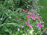 flat petunias