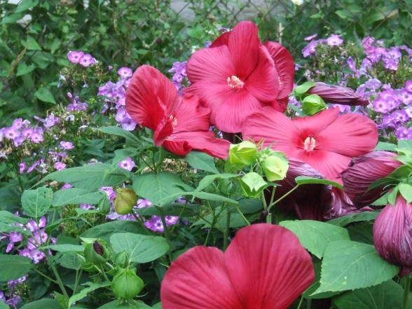 hibiscus-yard