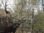 Amelanchier x grandiflora 'Autumn Brilliance'  getting ready to bloom