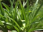 Allium, gladiator