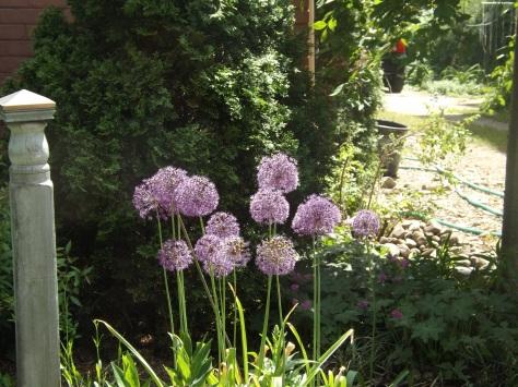 garden 5-25-13 009
