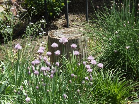 garden 5-25-13 010