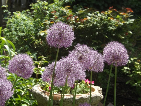 garden 5-25-13 011