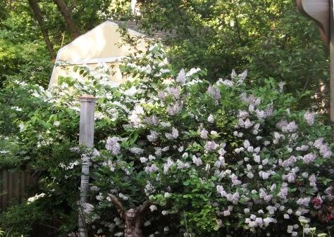 garden 5-30-13 001