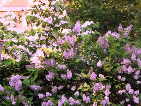 garden 5-30-13 002