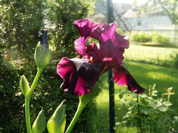 garden 5-30-13 003