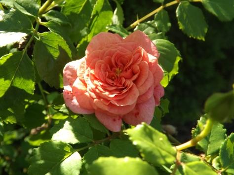 garden 5-30-13 006